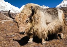 Yak on the way to Everest base camp and mount Pumo ri Stock Images