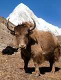 Yak on the way to Everest base camp and mount Pumo ri. Nepal stock photography