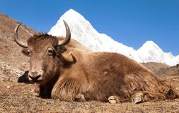Yak on the way to Everest base camp and mount Pumo ri. Nepal stock photos