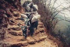 Yak on the way to Everest base camp - Nepal Stock Photography