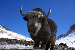 Yak in winter himalayas Stock Photography
