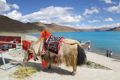 Yak at Yamdrok Lake, Tibet Royalty Free Stock Images