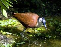 Yakana非洲鸟额嘴长的非洲 图库摄影