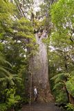 Yakas - Large Kauri Tree Royalty Free Stock Photos