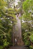 Yakas - Large Kauri Tree Royalty Free Stock Photos