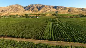 Yakima valley cherry orchard farm agriculture. Aerial view of thriving Cherry Trees in an abundant valley Washington State stock video footage