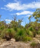 Yakka Trees: Australian Bushland Royalty Free Stock Photography