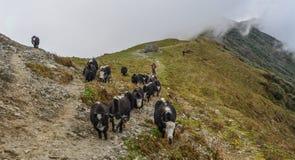 Yakkuh auf Berg von Annapurna, Nepal stockfotografie