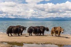 Yaks στη λίμνη Στοκ Εικόνα