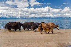 Yaks στη λίμνη Στοκ εικόνες με δικαίωμα ελεύθερης χρήσης