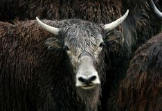Yaks Photo stock
