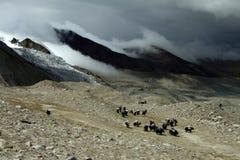 yaks Arkivfoton