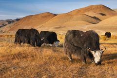 Yaks. Grazing yaks in mongolian wilderness Royalty Free Stock Photography