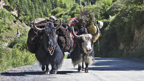 Yaks Stock Photography