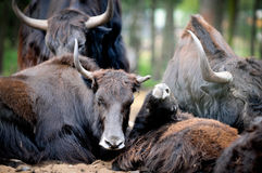 Yaks. Yak -  Bos grunniens or Poephagus grunniens with calf Stock Photo