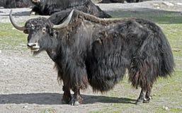 yaks Image stock
