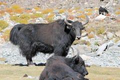 yaks Foto de archivo