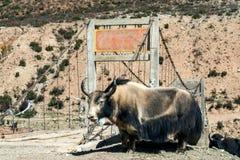 yaks Photos stock