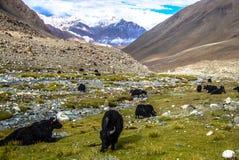 yaks Imagen de archivo