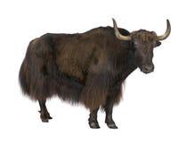 yaks Photographie stock libre de droits