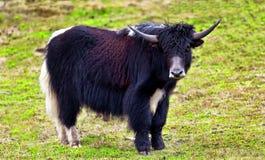 yaks Photo libre de droits