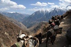 yaks Imagem de Stock Royalty Free