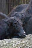 yaks Lizenzfreie Stockfotografie