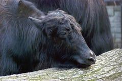 yaks Lizenzfreie Stockbilder