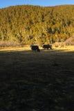 yaks Стоковые Фото