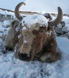 Yaks après chutes de neige en Himalaya, Népal Photos stock