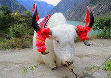 Yaks au lac Diexi, Mao County, Sichuan, Chine photos stock
