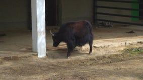 Yaks au zoo banque de vidéos