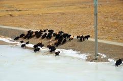 Yaks avec la rivière congelée Photographie stock