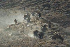 Yaks avec le bois de chauffage Image stock