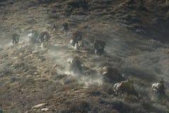 Yaks avec le bois de chauffage -2 Photo libre de droits