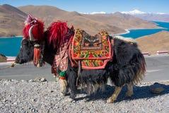 Yaks avec le fond bleu de lac et de montagne Image stock