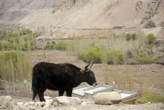 Yaks, Basgo, Ladakh, Inde Photo stock