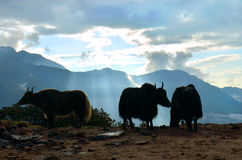 Yaks and beautiful sunrise in Himalayan mountains. Nepal, Royalty Free Stock Photos