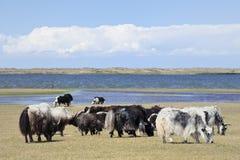 Yaks bij de kust van Qinghai-Meer Stock Fotografie