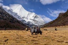 Yaks bij het gebied Stock Afbeelding