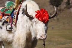 Yaks blancs Photo libre de droits