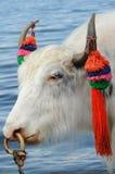 Yaks blancs Image libre de droits