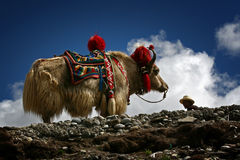 Yaks blancs Photo stock