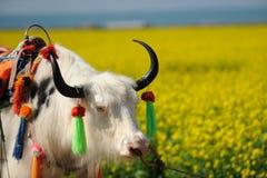 Yaks blancs dans le domaine de graine de colza Photos libres de droits