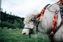 Yaks blancs photographie stock libre de droits