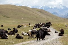 Yaks blocking road, Tien Shan Royalty Free Stock Photo