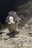 Yaks carry loads. Himalayas, Nepal. Stock Photography
