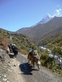 Yaks carrying goods on the Everest trail Stock Photography
