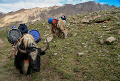 Yaks carrying heavy load. Yaks carrying goods and supplies on the way around the holy Mount Kailash in Tibet Stock Images