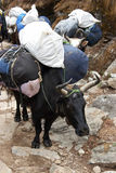 Yaks carrying loads, Everest trek, Nepal Royalty Free Stock Photography
